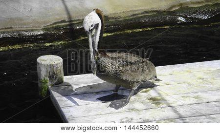 Pelican standing on a wooden platform in its habitat
