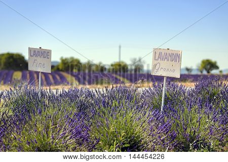 Lavender field summer sunset landscape with two tree near Valensole. Provence