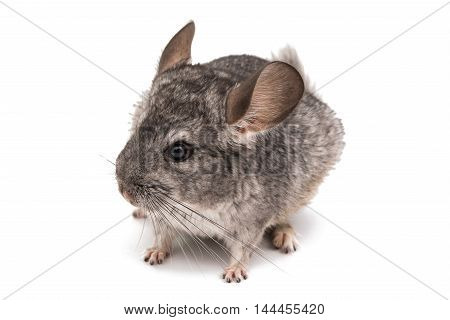 Chinchilla pet rodent on a white background