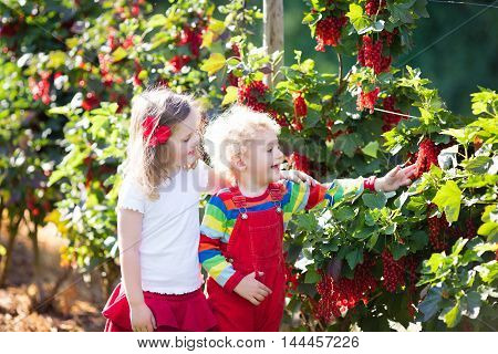 Little girl and boy picking fresh ripe berry from red currant bush in sunny summer garden. Healthy nutrition for kids. Bio fruit for children.