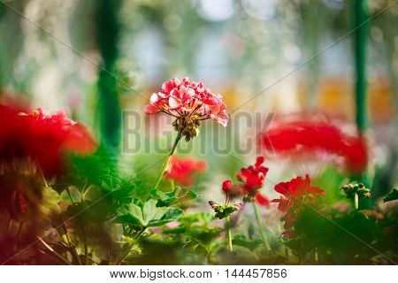 Close up photo of red flowers. Blury outdoor background.