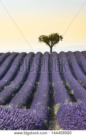 Lavender field Summer sunset landscape with single tree on horizon
