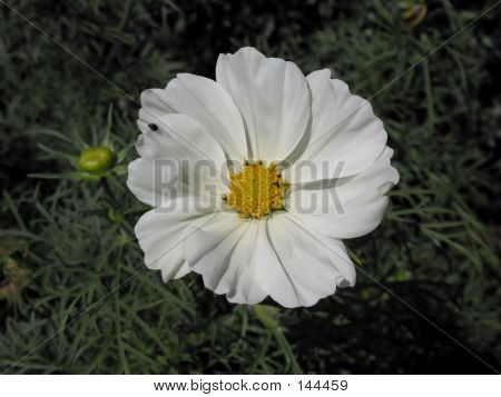 Beautiful White Flower With Visitant