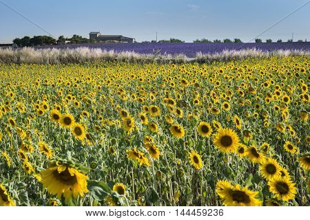 Sunflower and lavender fields in Provence south of France
