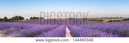 Panorama of lavender field at sunset in Provence South of France