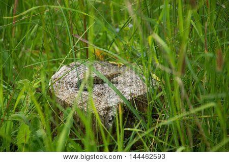A lizard sitting on a tree stump.