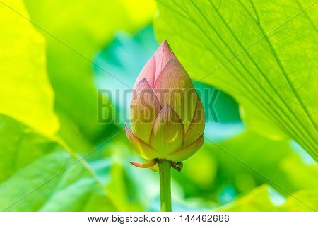 Bud of the lotus, which grows naturally in the pond.