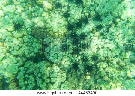 sea urchin underwater view and coral stone