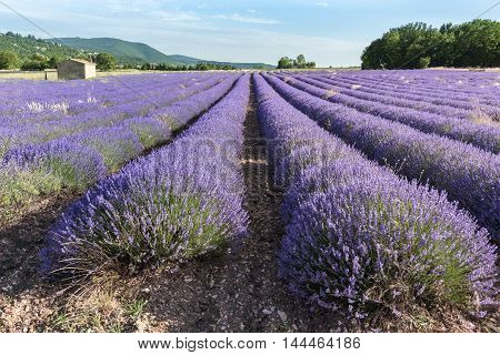 Lavender field at sunset in Provence South of France