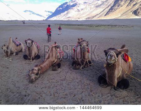 Camels sit in Nubra Valley Leh Ladakh India.