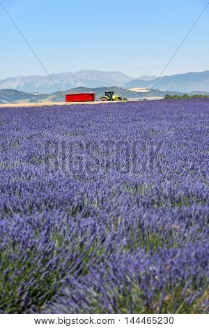 Lavender harvesting in Provence near Valensole South France