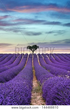 Lavender field Summer sunset landscape with tree on horizon