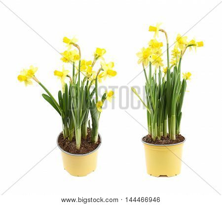 Yellow narcissus flower in a pot, composition isolated over the white background, set of two different foreshortenings