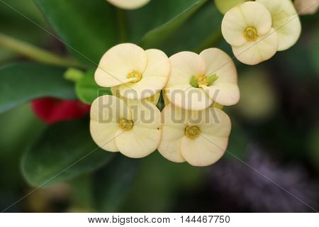 Pale yellow flower on the euphorbia milii plant, also know as crown of thorns, christ plant, or Christ thorn.