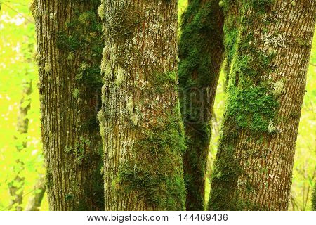 a picture of an exterior Pacific Northwest mossy Big leaf maple trees