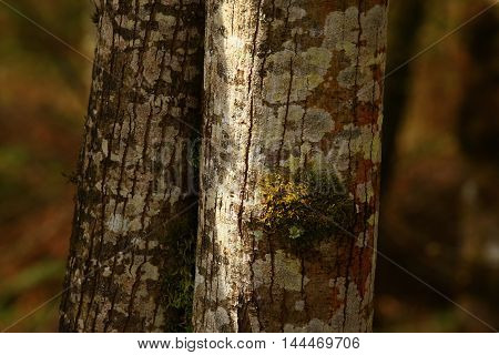 a picture of an exterior Pacific Northwest Alder tree with lichens