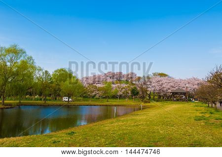 Cherry tree and pond that bloom in the park.