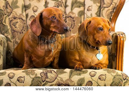 Dachshund hound puppy cute wiener dog sad eyes short hair