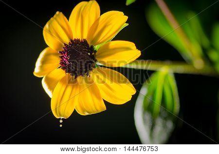 Macro sun flower yellow studio shot daisy Rudbeckia Becky Yellow