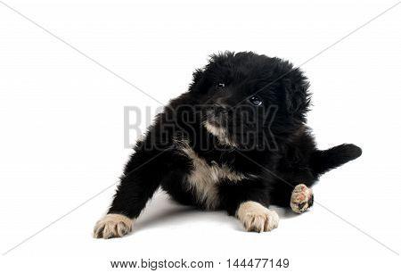 Black dog puppy isolated on white background