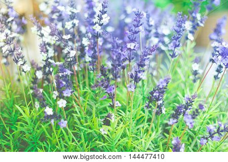 Lavender flower with shallow depth of field with vintage retro filter.