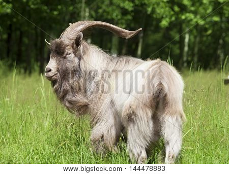 Big horned goat standing on a green lawn at the edge of the forest on a sunny summer day