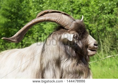 Portrait of a big horned goat on a sunny summer day
