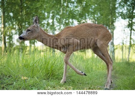 Wild roe deer walking in the woods on a sunny summer day