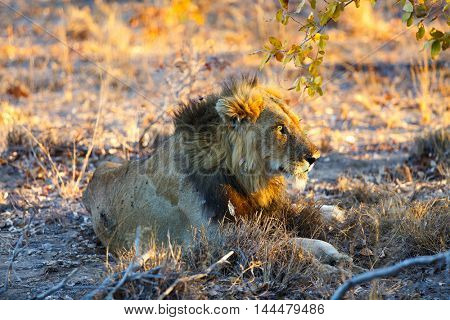 Male lion lying in grass