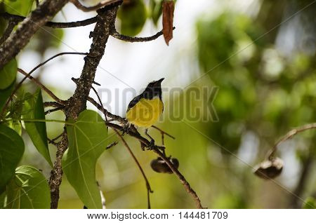 Bananaquit Bird In Curacao