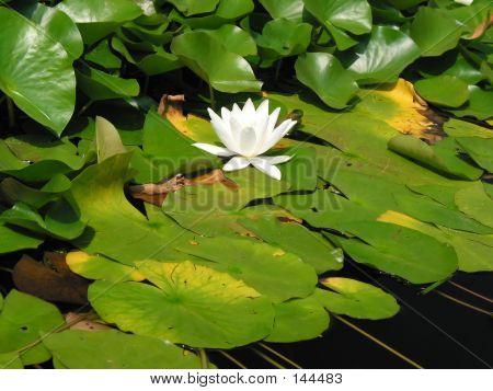 Water-flower