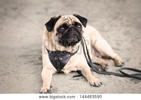 Pug dog lying on a sand