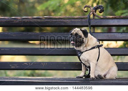 Pug dog sitting on a bench
