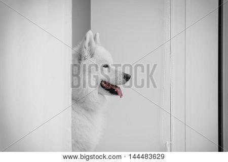 Samoyed dog looking through window