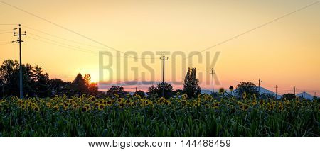Umbria (Italy) sunflowers field at sunset scenic view