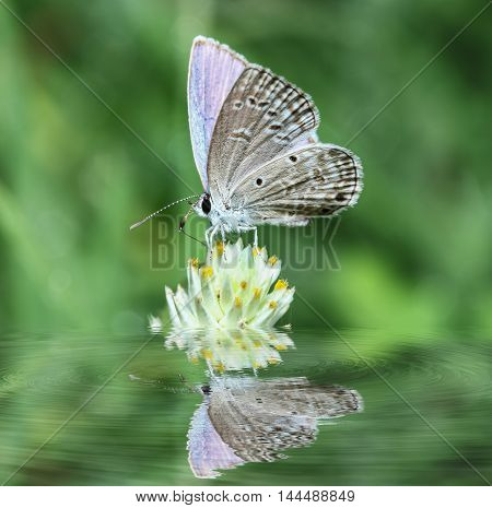 Butterfly small on flowers with in water reflection