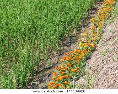 Zinnia flower row along the paddy field for decoration in the local farm of Thailand.