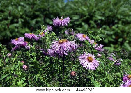 Glastifolius  groundsel. Asters grow in a garden. Aster this ornamental plant. Petals of lilac color.