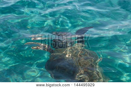 Caretta Caretta Turtle Swim In The Bay Laganas, Zakynthos, Greece
