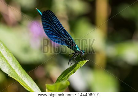 blue dragonfly perched on plant close-up .