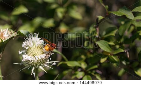 insect collecting pollen from white plant .