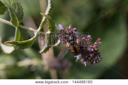 fly insect collecting pollen from plant .