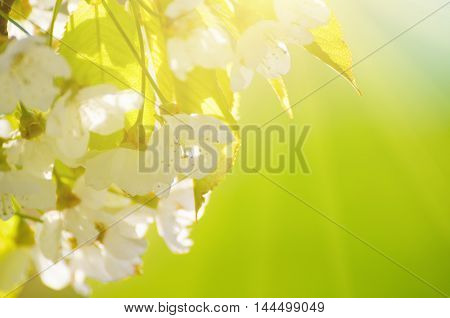 Blossoming of cherry flowers in spring time, natural seasonal green sunny background