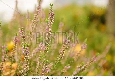 Blooming of beautiful heather flowers, natural seasonal vintage hipster floral background