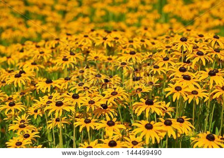 Rudbekia flowers field, blossoming at summer time, floral background