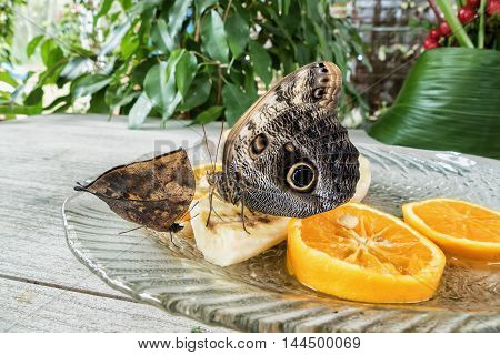 Morpho peleides butterfly on orange and banana fruits
