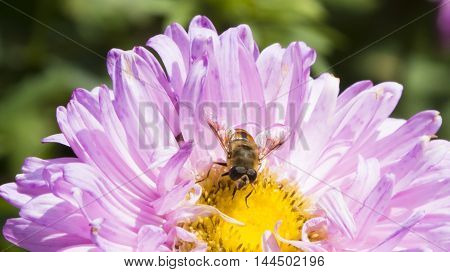 The bee on a flower pollinates it and collects nectar