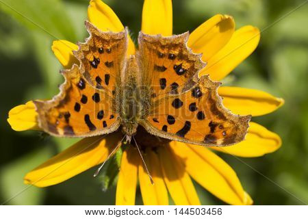 The butterfly on a flower collects nectar and pleases people