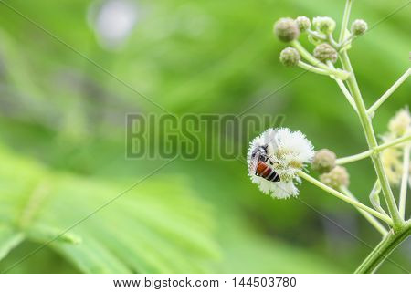 Bee suck nectar on white flower collecting pollen .