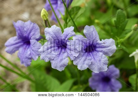 purple ruellias flower bloom in the morning. (Ruellia tuberosa Linn. Waterkanon Watrakanu Feverroot Popping pod) : blurred background